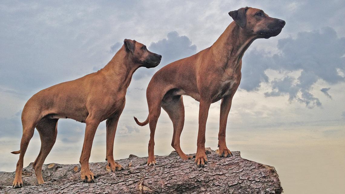 ZimaZaa – Rhodesian Ridgeback